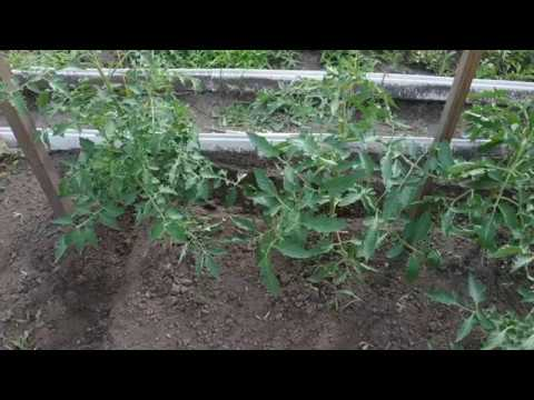 Как чувствуют себя томаты, после березового дегтя.