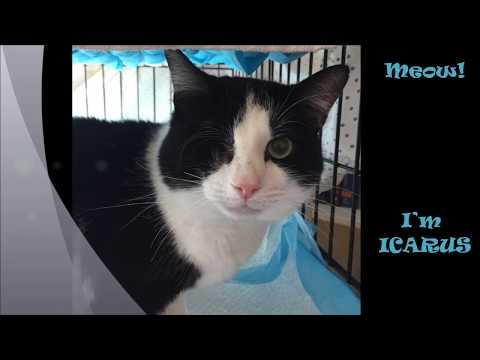 Icarus, an adopted Domestic Short Hair Mix in South Ozone Park, NY