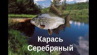 На что ловить карась серебряный озеро