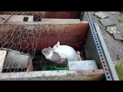 Come si accoppiano i Conigli