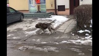 SANOK: Wilk w biały dzień w centrum miasta? Kolejne szokujące video