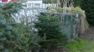 Planting Christmas Tree In Garden (Comparison Of Growth Rate Over 3 Years)