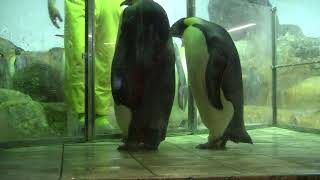 #2-7 Dec 2017 Emperor penguin at Adventure world, Japan