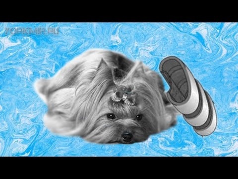 Коллапс трахеи у собак | Симптомы | Лечение.