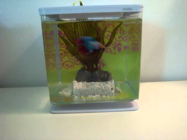 Betta Fish Facts and Tips