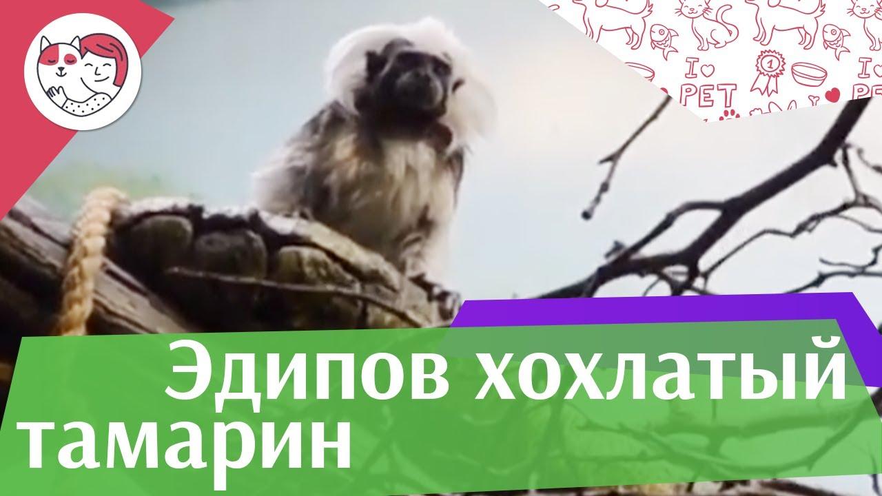 Эдипов хохлатый тамарин Размножение на ilikepet