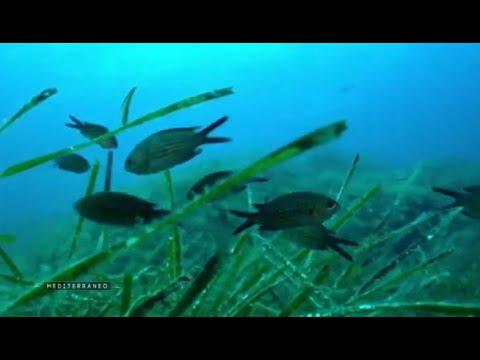 MEDITERRANEO - Corse : une équipe de scientifique au chevet des posidonies menacées  en Méditerranée