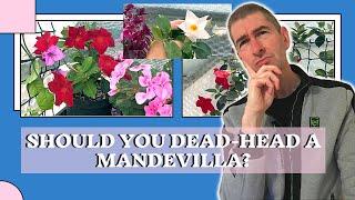 SHOULD YOU DEAD-HEAD A MANDEVILLA (DIPLADENIA) VINE?