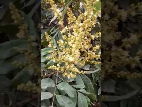 Cận cảnh ong lấy phấn hoa nhãn lồng