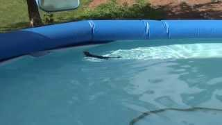 Squirrel Stuck in Swimming Pool