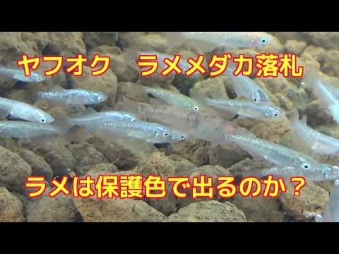 ヤフオク 落札 ラメめだか20匹2400円 ラメは保護色で出るのか?Japanese medakaメダカ