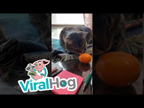 Μια γάτα συναντά ένα... μανταρίνι