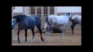 preview picture of video 'Lipizzaner Foals at Spanish Riding School (Spanische Hofreitschule)'