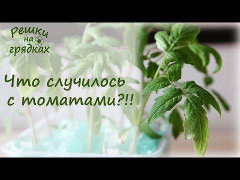 Что случилось с томатами?! Белеют листья у рассады