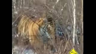 Тигр возле п. Артемовский