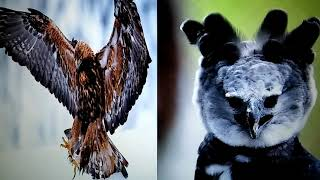 Harpy eagle vs Golden eagle. Who would win?
