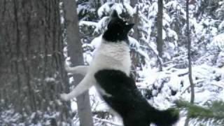 Смотреть онлайн Охота на соболя в Сибири с лайкой