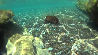 preview picture of video 'Flying Sea Hare At Timi Beach Near Paphos Cyprus.'