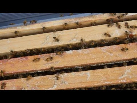 , title : '怎么选择蜂群来育王,才能育出好的蜂王,两位专业养蜂人和你分享