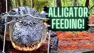 Alligator Feeding (What a BEAST!)