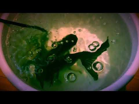 こんなカッコイイ青文魚見たことない!一目惚れ購入につきまた過密状態 Beautiful goldfish joined my tank :)