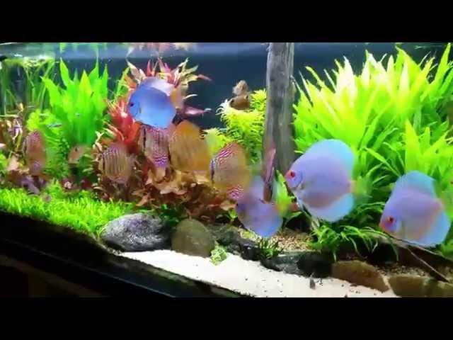 co2 planted tank/aquarium with my sweet discus fish 1080p