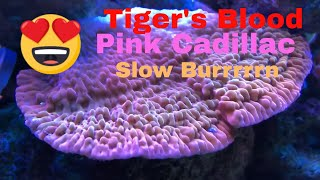 New Acropora Coral - TIGER'S BLOOD, PINK CADILLAC, and SLOW BURN MONTI