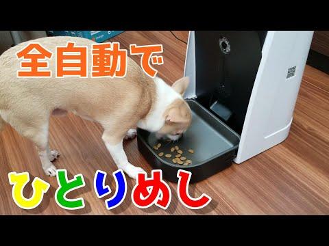 , title : 'WOPET全自動給餌器を使用した感想💛ご飯が出てきた時のチワワの面白い反応💘🐶(フィーダー、給えさ器、えさやり器)レビュー。Automated feeder for dog, cats.