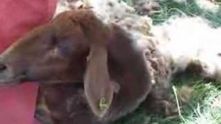 Tosatura Delle Pecore In Aspromonte  / 2