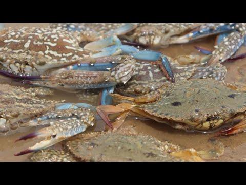 難得一次的大退潮,斤重大螃蟹數都數不清,妹子一路抓爆桶【海村小梅】
