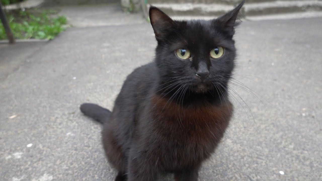 Four black cats meow