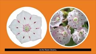 Explore!  ➡️  State Flower: Mountain Laurel