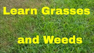 Learn Many Warm Season Grasses and Weeds -  Grass and Weed Identification