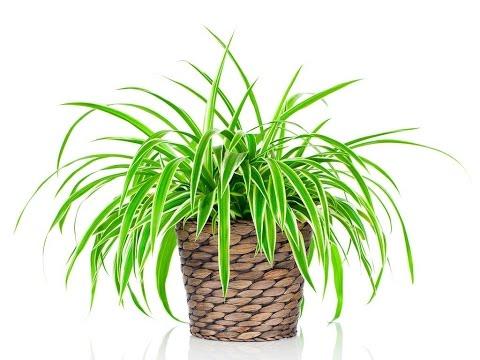 Самые полезные комнатные растения. Цветы для дома.