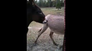 Donkey trying to talk to owner Barney & Miracle
