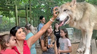 Wolves Up Close - Our Timber Wolf & Arctic Wolf Encounter - Wolves Video