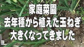 家庭菜園 種から育てた玉ねぎが大きくなってきました Private Vegetable Garden