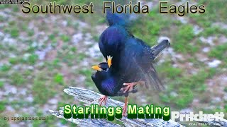 SWFL Eagles - Mozart's Starling Mating In The Nest Tree ❤️
