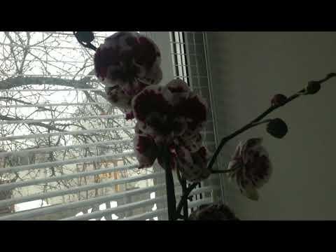 Мои орхидеи .