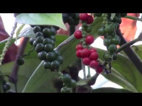 , title : 'How to Grow Black Pepper (Piper nigrum)