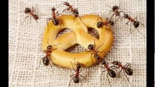 Video Mravec -robber ant
