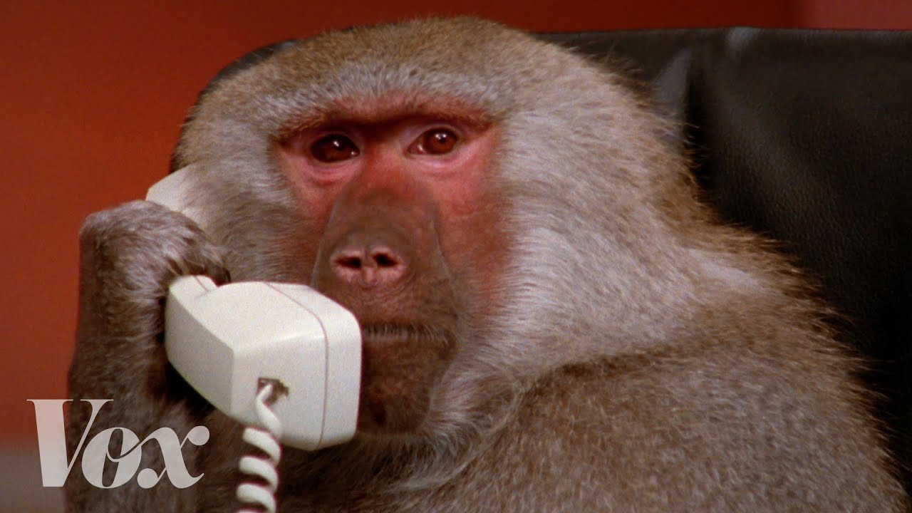 The most famous baboons on the internet, explained thumbnail