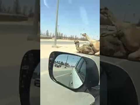 Парочка верблюдов в интересной позе образовала пробку в ОАЭ