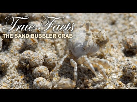 Hilarious: True Facts About the Sand Bubbler Crab