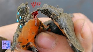 Bắt Được Bầy Rùa Vàng Kỳ Lạ Trong Con Suối Nước Cạn Trong Rừng . Catch Turtles From Pond
