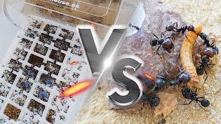 Mi Hormiguero mas grande Versus INSECTOS !!! - Primera alimentación tras la mudanza al hormiguero