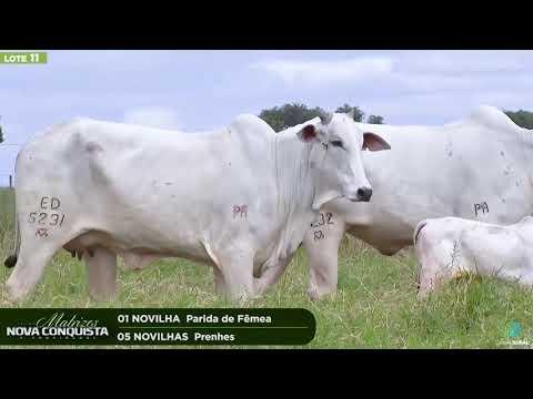 01 NOVILHA PARIDA / 05 NOVILHAS PRENHES