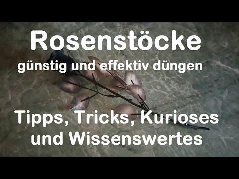 Rosenstöcke günstig düngen - biologischer Rosendünger Banane Schale - Rosen pflegen