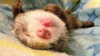 Funny ferrets – Funny animal compilation