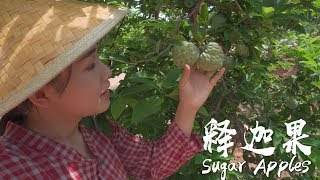 Apenjie's vlog| Pick Sugar Apples with My Younger Brother